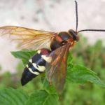 Cicada Killers