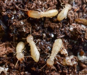 termites are a common household pest