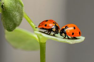 Lady Bugs are often confused for Asian Beetles